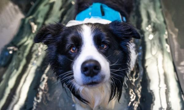 dog arthritis treatment illawarra